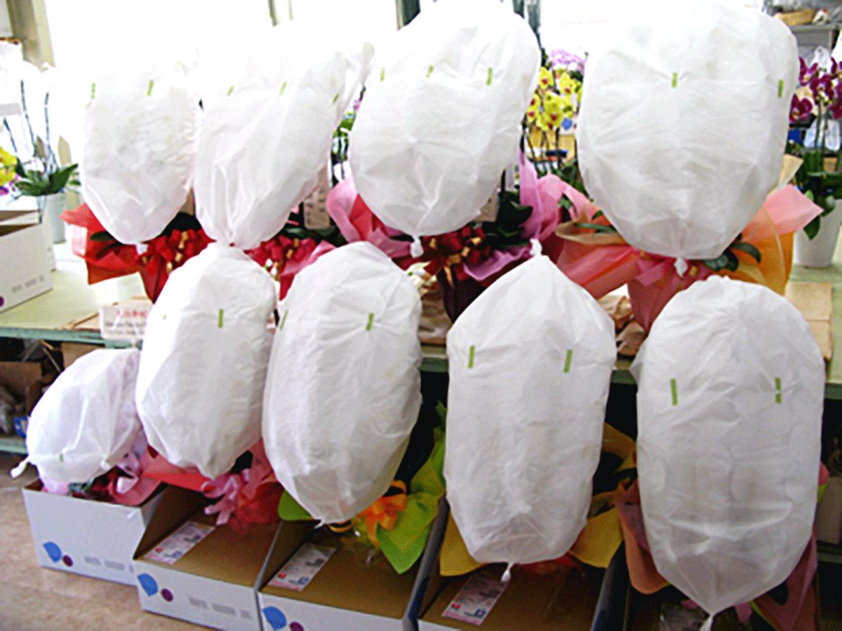 出荷前の胡蝶蘭