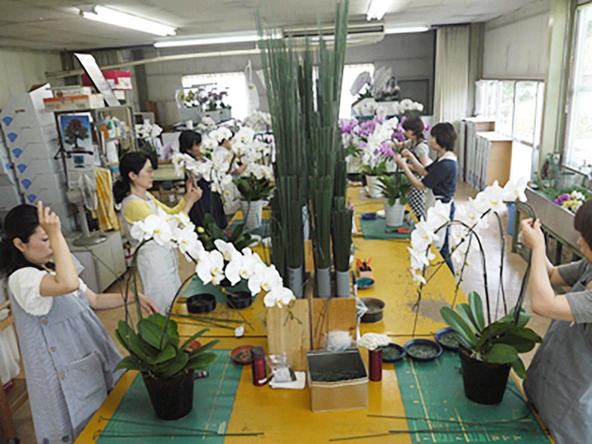 胡蝶蘭の仕立て