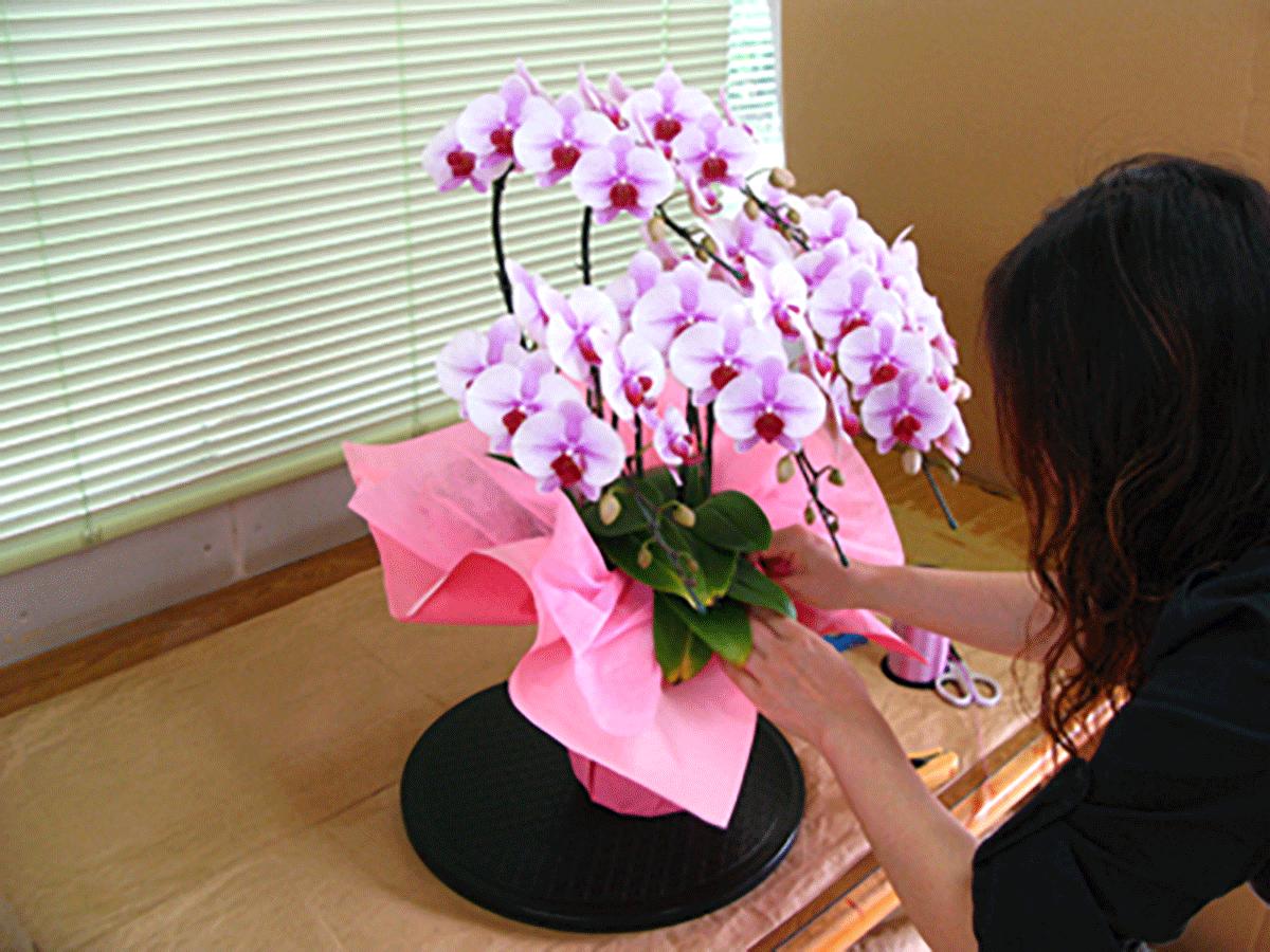 胡蝶蘭のラッピング
